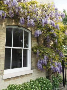 ultimate rose white window with purple flowers